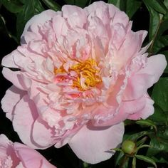 Hollingsworth Peonies - Sweet Melody