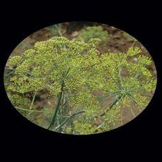 Dill Bouquet -- Baker Creek Seeds rareseeds.com