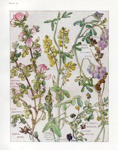 Isabel Adams Flowers of the Wild Liquorice