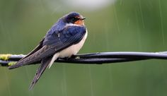 Swallow (4684) | Flickr - Photo Sharing!