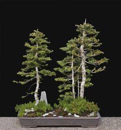Image result for fir bonsai #bonsai