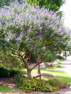 Native plant, the Texas Lilac (Vitex). They are hardy, drought tolerant, and the butterflies & bees love them. Purple Flowering Bush, Flowering Trees, Trees And Shrubs, Trees To Plant, Fruit Trees, Fast Growing Trees Texas, Drought Tolerant Trees, Xeriscaping, Vitex Agnus Castus