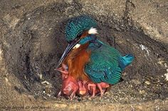 Kingfisher and chicks via Nature Pages FB