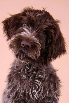 Dog Grooming Shop Sabine Nielsen Wirehaired Pointing Griffon Pup Classic Look.Dog Grooming Shop Sabine Nielsen Wirehaired Pointing Griffon Pup Classic Look Cute Puppies, Cute Dogs, Dogs And Puppies, Doggies, Griffon Dog, Wirehaired Pointing Griffon, Animals And Pets, Cute Animals, Diy Dog Collar