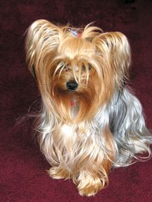 Yorkshire Terrier- This one looks like my dog Chancey.