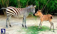 Little boy: Khumba's mother, Rayas, is a zebra, and his father, Ignacio, is a dwarf blue-eyed albino donkey. That makes Khumba a zonkey, a r...