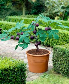 Top 10 Dwarf Fruit and Nut Trees to Grow in a Limited Space - Page 2 of 10 - Top Inspired