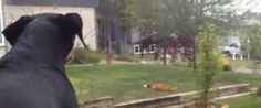 WATCH: Dog Catches Fox Playing With Her Toy, Is Less Than Thrilled About It