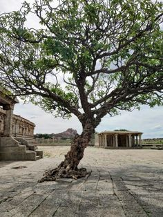 A centuries old tree at the Vittala temple compound, Hampi. Jungle Pictures, Jade Bonsai, Lucky Plant, Indian Village, Jade Plants, Money Trees, Hampi, India Travel, Vacation Trips