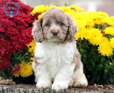 This attractive Cockapoo puppy will win you over with his first puppy kiss. He enjoys playing with the children he is being raised with. This baby loves to have a good time and will be a great partner in crime. He is vet checked, vaccinated, wormed and comes with a 1 year genetic health guarantee. His momma is a Cocker Spaniel (Sheila) & daddy is a Mini Poodle (Teddy). This puppy is so anxious to meet his new family so if you think that could be you, call today!