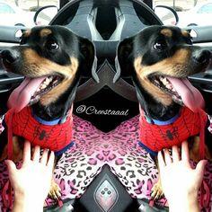TADA!!! HE'S SPIDER-MAN My lil baby boy Rocky is my hero #adoptdontshop #furbaby #guardianofrocky #spiderdog #spiderman #marvelcomics #marvelstyle #creestaaal #animallover #animalrescue