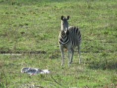 A zebra with her stillborn, iSimangaliso's Eastern Shores Stillborn, Zebras, South Africa, The Past, Wildlife, Animals, Animales, Animaux, Animal Memes