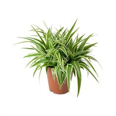 Chlorophytum comosum Ocean - Spider Plant - Purify Your Air - Hortology Air Cleaning Plants, Air Plants, Foliage Plants, Chlorophytum, Tall Planters, Small White Flowers, Indoor Plant Pots, Spider Plants, Hanging Plants