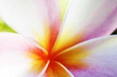 Plumeria Blossom Photograph  - Plumeria Blossom Fine Art Print