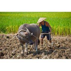 Farmer plowing with water buffalo Yangshuo Guangxi China Canvas Art - Keren Su DanitaDelimont (19 x 12)