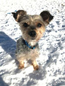 Kijiji - Buy, Sell & Save with Canada's Local Classifieds Yorkie, Chihuahua, Adoption Options, Pet Resort, Adoption Center, Terrier Mix, Humane Society, Dogs And Puppies, Pets