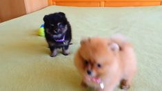 Teacup Poodle Puppies, Baby Pomeranian, Yorkie Poodle, Pomeranian Puppy For Sale, Mini Puppies, Micro Teacup Pomeranian, Pomeranian Facts, Teacup Puppies For Sale, Chihuahua