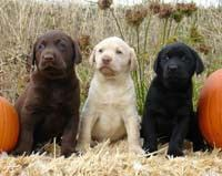 How cute are these Fall Puppies? Lab pups are so cute?