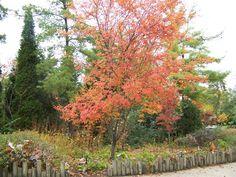 Allegheny serviceberry trees for 6b bardstown ky pinterest gardens - Planting fruit trees in the fall a garden full of vigor ...