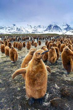 King Penguin - Salisbury Plain. South Georgia Island