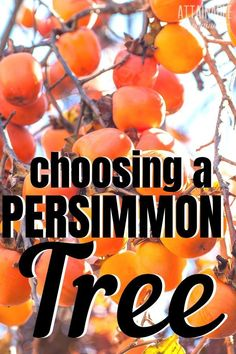 Growing persimmons for a late fall harvest on your homestead? Choosing a persimmon tree will depend on a few factors and how you plan to use the persimmons you grow. Here's how to decide between an American persimmon tree or a Fuyu persimmon tree. Fuyu Persimmon Tree, Growing Fig Trees, Lemon Lime Nandina, Farm Plans, Tree Care, Small Gardens, Vertical Gardens, Colorful Plants, Fruit Trees