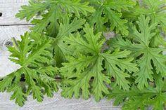 Citronella Scented Geranium (pelargonium citrosum) - Citronella Scented leaves reputedly repel biting flies and mosquitos.