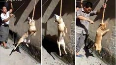 The scenes that were filmed by villagers in Vietnam are extremely revealing of the vile dog meat industry. A stray dog that w...