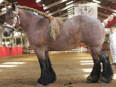 Nederlands trekpaard  mooi he