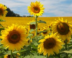 Endless sunflowers at Clear Meadow Farm in White Hall, Maryland.  Photo by Mitch Lebovic.