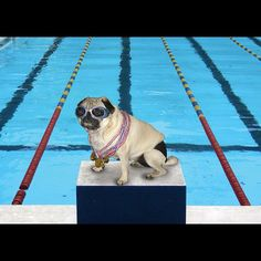 We LOVE pugs! And this Olympic pug is especially PUGALICIOUS! :D