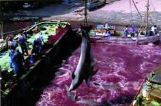 Still image of a dolphin slaughter from a video sequence shot in 1999 by the Environmental Investigation Agency in Futo harbor near Shizuoka, Japan.