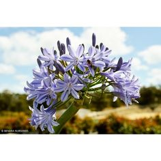 Agapanthus Summer Blue is an evergreen perennial with a clump forming habit with lush green strap-like leaves and spectacular displays of large vibrant blue blooms. Lily Plant Types, Types Of Plants, African Lily, Agapanthus, Types Of Flowers, Lush Green, Growing Plants, Colorful Flowers, Evergreen