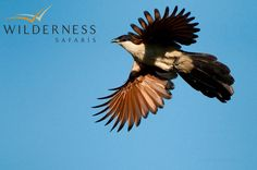 Birding with Wilderness Safaris - Coppery-tailed coucal