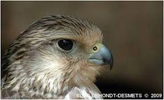"""Résultat de recherche d'images pour """"faucon lanier"""""""