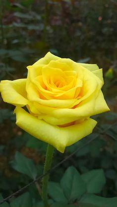 スエラ Beautiful Rose Flowers, Exotic Flowers, Amazing Flowers, Beautiful Gardens, Beautiful Flowers, Rose Flower Wallpaper, Most Popular Flowers, Yellow Bouquets, Peonies Garden