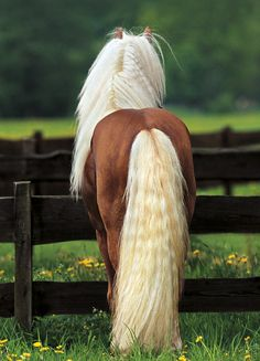 Long Golden Mane & Tail