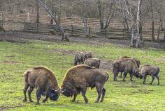 Rezervatia de zimbri din Hateg