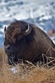 American Bison, Wyoming