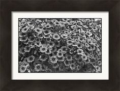 "Black And White Petunias Framed Print by Aimee L Maher Photography and Art Visit ALMGallerydotcom.  Bring your print to life with hundreds of different frame and mat combinations. Our framed prints are assembled, packaged, and shipped by our expert framing staff and delivered ""ready to hang"" with pre-attached hanging wire, mounting hooks, and nails. #nature #flower #homedecor #wallart"