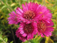 Výška:  140 - 160 cm  Květ:  zářivě růžový, VIII. - X.  Velmi výrazně kvetoucí odrůda, která zpestří podzimní trvalkový záhon... Aster, Nova, Garden, Butterflies, Garten, Lawn And Garden, Gardens, Butterfly, Gardening
