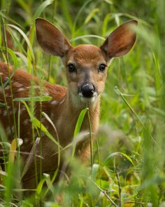Gorgeous young deer standing in the tall grass. Cades Cove is a great place to view deer!