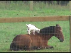 A patient horse (Blaze) lets a happy baby goat (Cleo) climb all over him. Video uploaded to Youtube by Eric Holter.