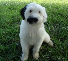 My name is Amir Cao Oceans' Breeze my Mom Mandy wanted a good name but she just calls me Breezy and I love it. Cutest Puppy Ever, Portuguese Water Dog, Cool Names, Oceans, My Mom, Cute Puppies, Breeze, Kid Stuff, Pets