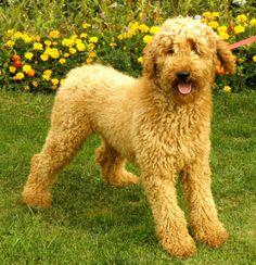 Standard poodle hair cut