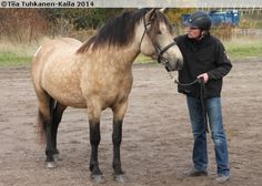 Usvapellon Taika, a buckskin Finnhorse mare (b. Beautiful Horses, Animals And Pets, Colors, Nature, Pets, Naturaleza, Calla Lily, Nature Illustration, Colour