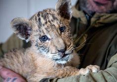 Un bebé ligre nace en Rusia un cruse entre tigre y león