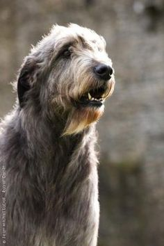 Irish wolfhound by TARIKISA
