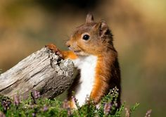 Red Squirrel by Simon Stobart on Flickr