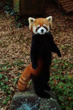 Red Panda!! I want one!!