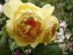 'Golden Celebration ' Rose Photo
